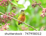 Small photo of Close up of a Olive-backed Euphonia (Euphonia gouldi)male perched on a tree branch