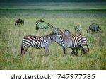 zebras and wildebeest in... | Shutterstock . vector #747977785