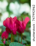 Small photo of Red cyclamen (Myrsinaceae, Primulaceae)