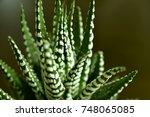 Close Up Haworthia Fasciata At...