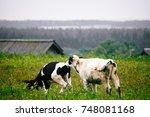 calves nuzzle each other | Shutterstock . vector #748081168