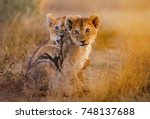 Stock photo lion cubs playing 748137688