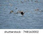 dendrocygna javanica on pond | Shutterstock . vector #748163002