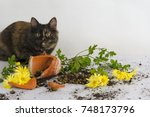 Stock photo curious tortoiseshell colored kitten and a broken pot with chrysanthemum flower in studio against 748173796