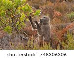 chacma baboon  papio ursinus ... | Shutterstock . vector #748306306