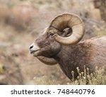 Big Horn Sheep Ram On Rocks In...