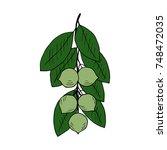 tamanu tree  calophyllum... | Shutterstock . vector #748472035