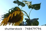 The Dying Sunflower Becoming...
