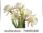 Group Of White Epiphyllum ...