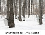 Maple Syrup Production. Pails...