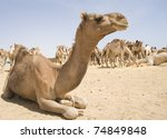 Dromedary Camels At An Egyptia...
