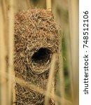 Thick Billed Weaver Nest.