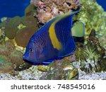 yellow bar angelfish ... | Shutterstock . vector #748545016