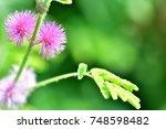mimosa invisa  giant sensitive...   Shutterstock . vector #748598482