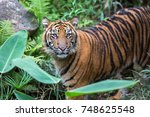 Sumatran Tiger Searching For...