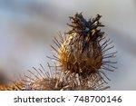 Dry Burdock Seed Head Or Burr...