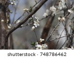 fruits blossom in april | Shutterstock . vector #748786462