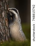 badger running in forest ... | Shutterstock . vector #748815742