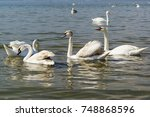 Mixed Age Flock Of Swans Mute ...