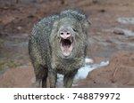 wild laveline hog with its... | Shutterstock . vector #748879972