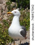 beautiful seagull looking right | Shutterstock . vector #748927042