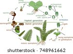 life cycle of fern. plant life... | Shutterstock .eps vector #748961662