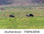 mangulitsa pig and her pigs.... | Shutterstock . vector #748963858