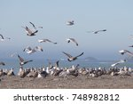 Birds Goat Rock Beach ...
