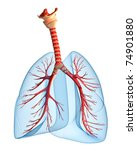Lungs - pulmonary system. Perspective view, isolated on white - stock photo