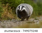 Badger Running In Forest ...