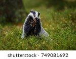 badger running in forest ... | Shutterstock . vector #749081692