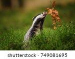 badger running in forest ... | Shutterstock . vector #749081695