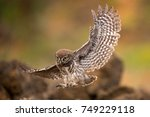 Stock photo young little owl athene noctua is flying with prey 749229118