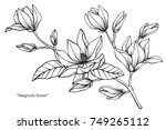 magnolia flower. drawing and... | Shutterstock .eps vector #749265112