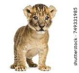 Lion Cub Standing  4 Weeks Old...