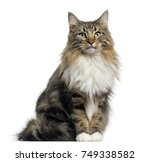 Stock photo front view of a norwegian forest cat sitting looking at the camera isolated on white 749338582