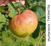 Small photo of Schleswig Strawberry Apple, malus, domestica