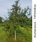 Small photo of Old Country Pancakes, malus, domestica