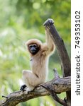 the lar gibbon  hylobates lar   ...   Shutterstock . vector #749353102
