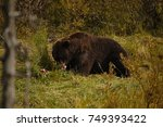 grizzly bear eating his prey in ... | Shutterstock . vector #749393422