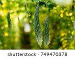 bitter guard in a organic farm. | Shutterstock . vector #749470378