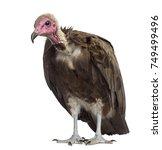 hooded vulture   necrosyrtes... | Shutterstock . vector #749499496