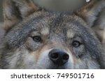european timber wolf close up...   Shutterstock . vector #749501716