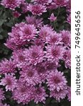 Small photo of Pink Chrysanthemum with red pith
