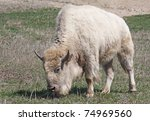 A White American Bison Grazing...