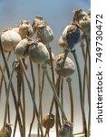 Dried Poppy Heads. Opium Drugs...