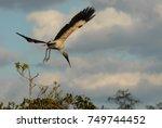 A Wood Stork Preparing To Land...