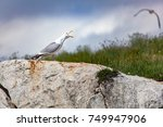 Screaming Seagull On Rock