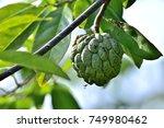 Annona Squamosa  Sugar Apple ...