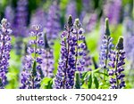 blue and purple wild lupines... | Shutterstock . vector #75004219